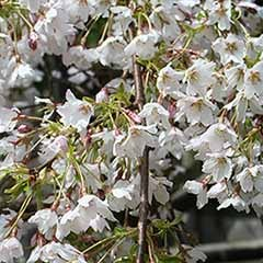 Flowering Cherry Tree 'Umineko'