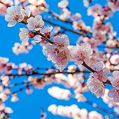 Flowering Japanese Cherry 'Brilliant'