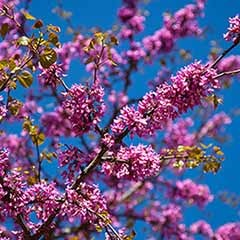 Cercis siliquastrum 'Judas Tree'