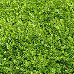 Lonicera pileata - Hedging Privet