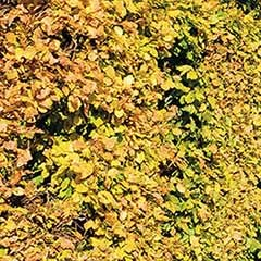 Hedging Pack - Beech (Fagus sylvatica) bare root trees x 10 1M