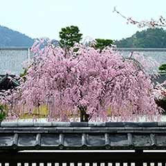 Flowering Cherry 'Kiku Shidare Zakura'