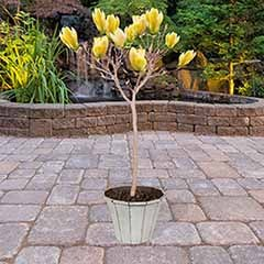 Magnolia 'Yellow Bird' Half Standard
