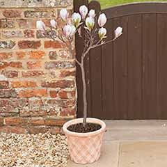Magnolia 'Pink Perfection' Half Standard