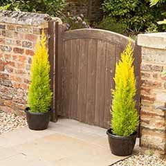 Golden Scented Cypress 'Goldcrest' x 4