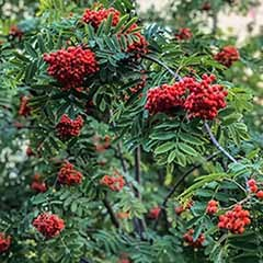 Mountain Ash, Sorbus aucuparia Rowan