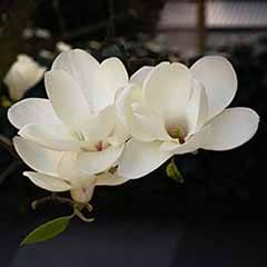 Magnolia Jade Lamp standard