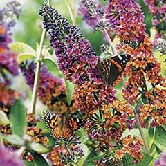 Buddleia 'Flower Power'