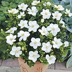 Gardenia 'Kleim's Hardy' - set of 3