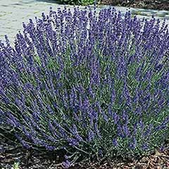 English Lavender 'Grosso'