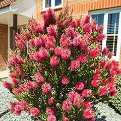 Callistemon citrinus Bottlebrush Plant