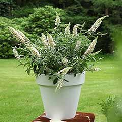 Dwarf Buddleia White Chip'
