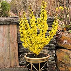 Dwarf Patio flowering Forsythia - 3 plants