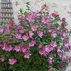 Hardy Hibiscus Collection - 3 varieties