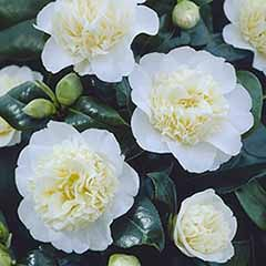 Camellia 'Brushfields Yellow'