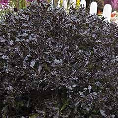 Pittosporum 'Tom Thumb'