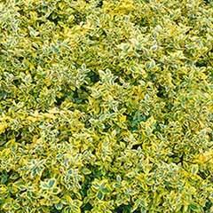 Euonymus 'Emerald & Gold' 1L