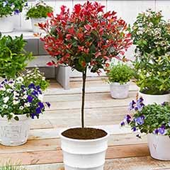 Standard Photinia 'Red Robin' Tree