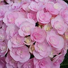 Double-Flowered Hydrangea 'Love'