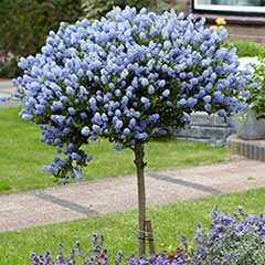 Pair Ceanothus Standards - Californian Lilac