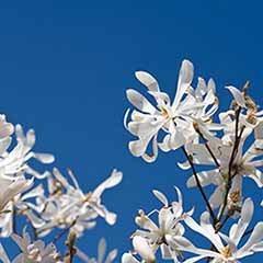 Magnolia stellata Standard