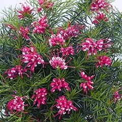 Set of 3 Grevillea 'Canberra Gem' Flowering Shrubs in 9cm Pots