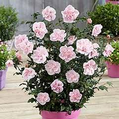 Hibiscus 'Chiffon Pink'