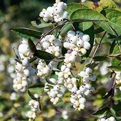 Snowberry 'Symphoricarpus albus'