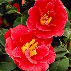 Hardy Camellia 'San Dimas'
