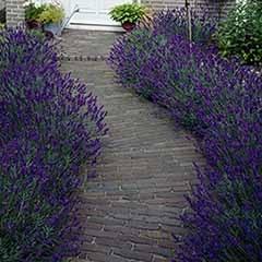 English Lavender 'Hidcote'