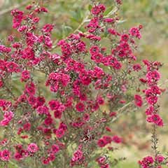 Leptospermum collection - Manuka or Tea Tree