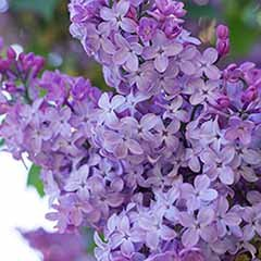 Fragrant French Lilac 'Amethyst'