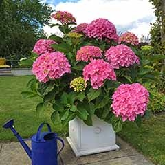 Hydrangea 'Belle Seduction'