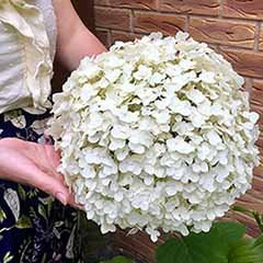 Pair of Tree Hydrangea 'Incrediball'