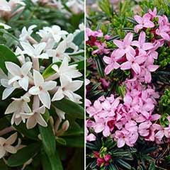 Hardy Fragrant Daphne Collection - Pink Fragrance & Eternal Fragrance
