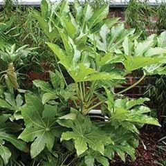 Fatsia japonica - Castor Oil plant