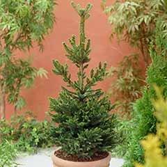 Grow Your Own Nordmann Fir Christmas Tree