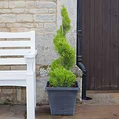 Spiral Topiary Cupressus - 'Castlewellan'