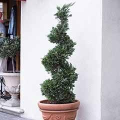 Spiral Topiary Cupressus - Emerald Cedar
