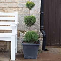 3 Ball Topiary Cupressus - Emerald Cedar