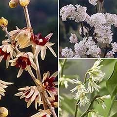 Winter Flowering Fragrant Shrub collection