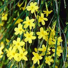 Winter Flowering Jasmine nudiflorum