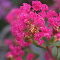 Lagerstroemia 'With Love Kisses'