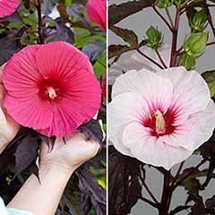 Hibiscus moscheutos 'Carousel' (R) pair