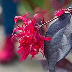 Loropetalum 'EverRed' Chinese Witch Hazel