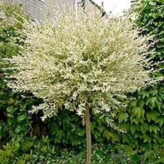 Salix int 'Hakuru Nishiki' 5L 150cm standard