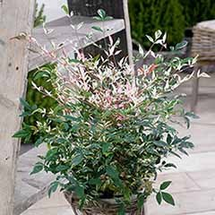 Nandina Domestica 'Twilight'