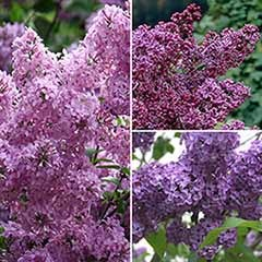 French Lilac Collection, 3 x Established Plants in 2L Pots