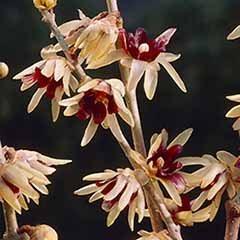 Chimonanthus praecox - Wintersweet