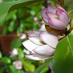 Magnolia 'Fairy Blush'